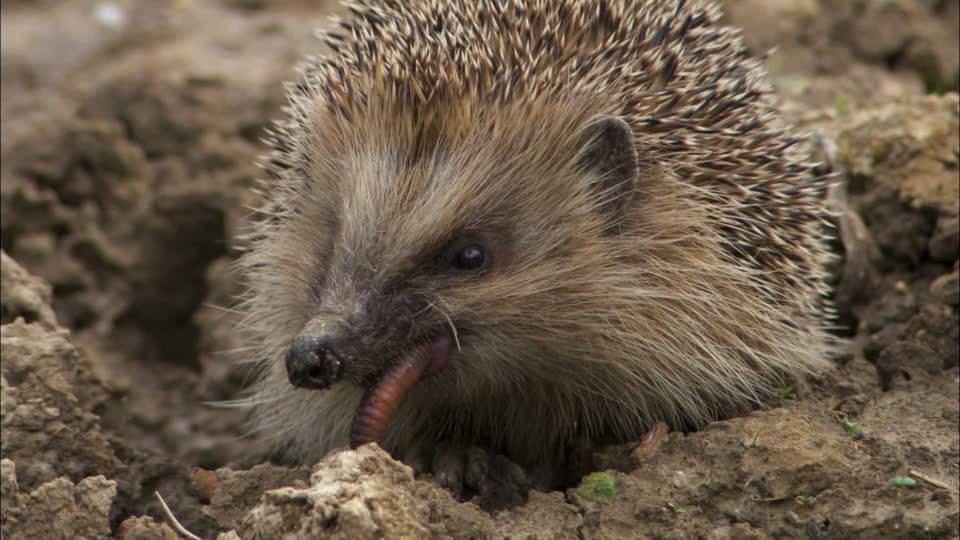 Hedgehog Deskripsi Spesies Tempat Mereka Tinggal Apa Feed