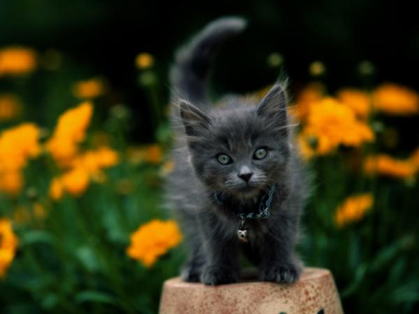 Nama Yang Cocok Untuk Kucing Yang Lembut Sejarah Kucing Di Rusia Nama Nama Untuk Ras Kucing Lipat Sphynx Maine Coon Persia Thailand Skotlandia Dan Neva Masquerade