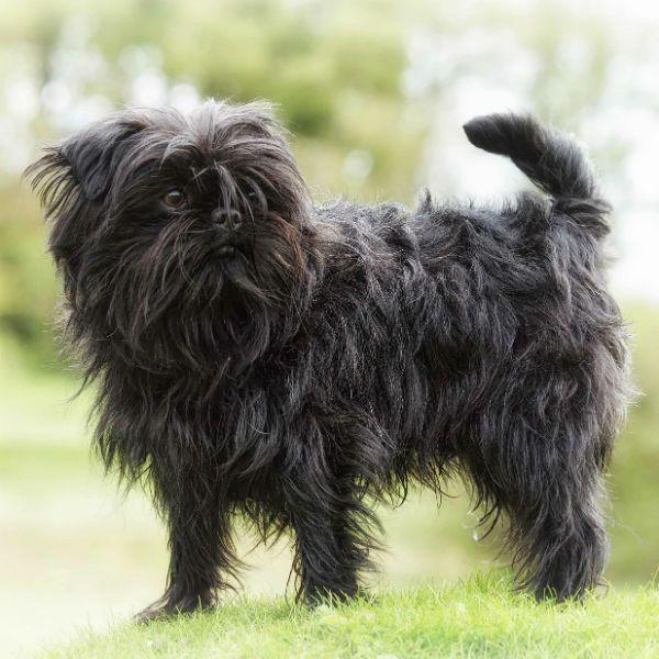 Sedikit Doggy Kecil Basset Breton Pelatihan Dan Pendidikan