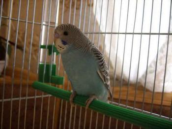 Un papagal ondulat în casă  Cum să ai grijă de un băiat de