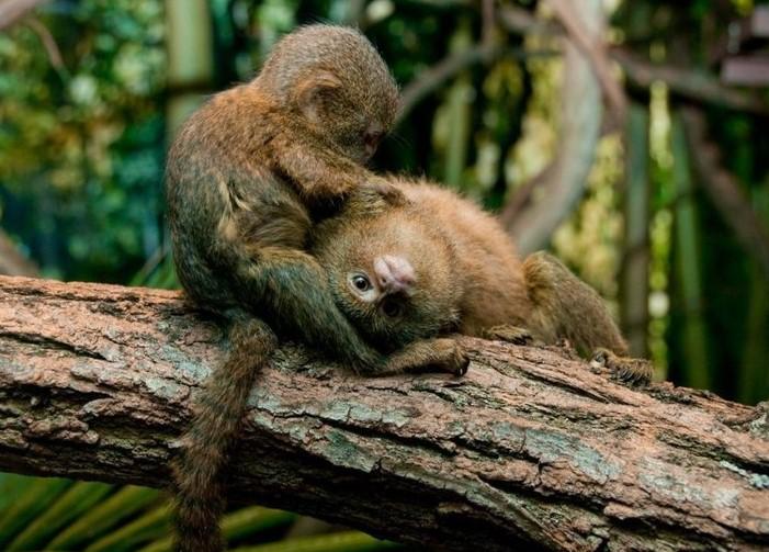 maymunlar uchun oyin bepul